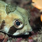 Tropical fish Porcupinefish  by MotHaiBaPhoto Dmitry &amp; Olga