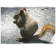 Red Squirrel Nibbling Away Poster