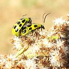 ladybugs by SusieG