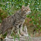 Scottish Wildcat (Felis Sylvestris) by FoxfireGallery / FloorOne Photography