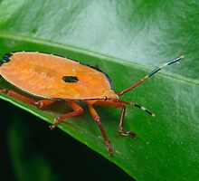 Bronze Orange Stink Bug Nymph - Musgraveia sulciventris by Andrew Trevor-Jones
