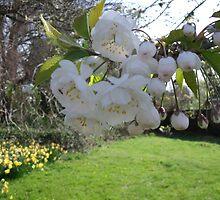 White Cherry blossom by ridweb