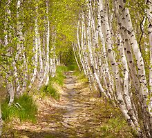 Spring Birch in Acadia by Kellypix