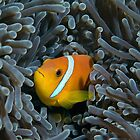 The anemonfish of the Maldives by Gorden