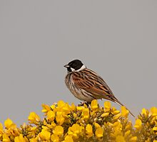 Male Reed Bunting by Jon Lees