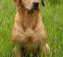 Sandy, my beautiful labrador retriever by michaelwallwork