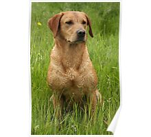 Sandy, my beautiful labrador retriever Poster
