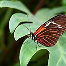 Postman Butterfly - Heliconius Melpomene by Lepidoptera