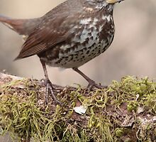 Fox Sparrow and Lichen by Jillian Johnston