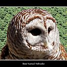 Barred Owl #1 by Rose Santuci-Sofranko