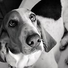 Pebbles the Basset by xtalline