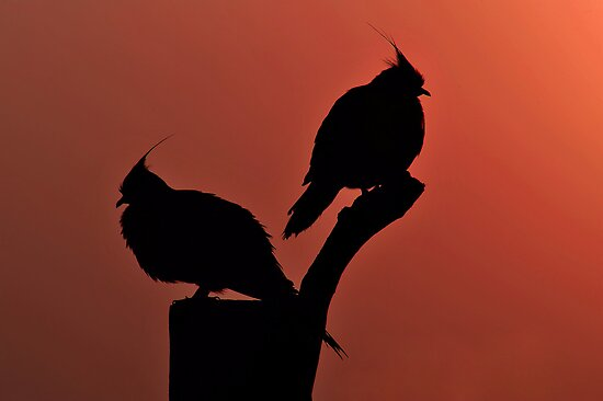 Crested Pigeons. Brisbane, Queensland, Australia.  by Ralph de Zilva