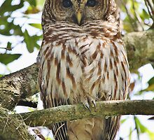 Barred Owl in a Tree by Paulette1021