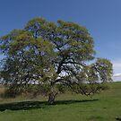 Lone Oak by Patty (Boyte) Van Hoff