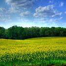 Canola Fields Forever...... by Chelei
