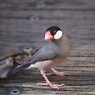 Java Sparrow by sarah ward