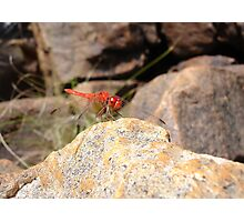 Ruby Dragonfly Photographic Print