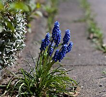 Grape hyacinths on the sidewalk by RonnySoak