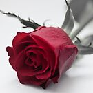 Red Rose for Love by OpalFire