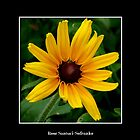 Black-Eyed Susan by Rose Santuci-Sofranko