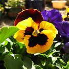Luminescent  Pansies by jams