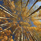 Kebler Pass Aspens II by Wojciech Dabrowski