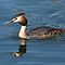Great Crested Grebe by Val Saxby