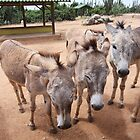 Aruba Donkeys by SeeOneSoul
