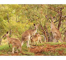 Eastern Grey Kangaroos Photographic Print