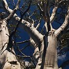 Silvery Eucalypt, Lake St. Clair National Park by Jane McDougall