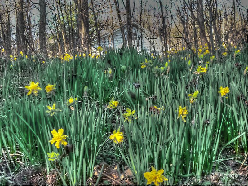 Daffodil Hill by vigor