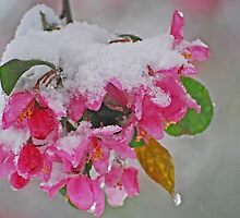 Snow Blossoms by Diane Blastorah