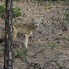 Coyote - Lytton BC Canada by KansasA