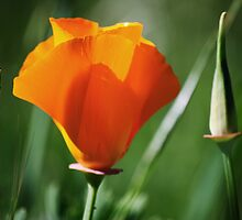 California Poppy IV by Diego  Re