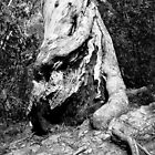 Gnarled Tree Trunk by prasitmankad