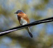 Bird On A Wire by Rick  Friedle