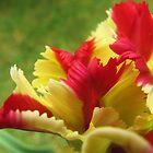 Feathery Tulip by klarutshka