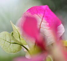 Bougainvillea macro 4 by Ranbir Singh
