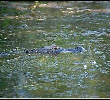 Lurking Gator by athenavet