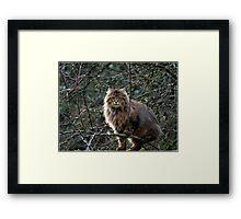 Maine Coon Tabby Cat Framed Print