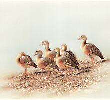 Plumed Whistling Ducks (Dendrocygna eytoni) by Laura Grogan
