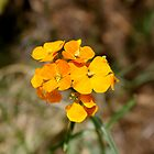 Western Wallflower by Klaus Girk