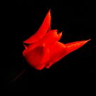 red tulip on black by Steve