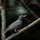 January Starling by BCkat