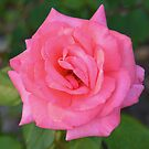 Pink rose with diamond-dust dew by Ben Waggoner