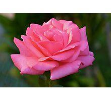 Sun-kissed pink rose Photographic Print