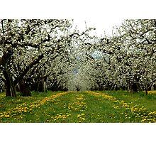 Hood River Blossom Landscape Photographic Print
