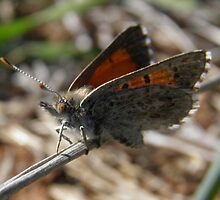 Chequered Copper Butterfly - Adelaide, South Australia by Dan & Emma Monceaux