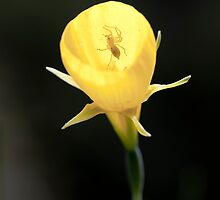 Apine Daffodil and Spider by Ed Lark