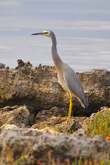 White-faced Heron by Ian Berry